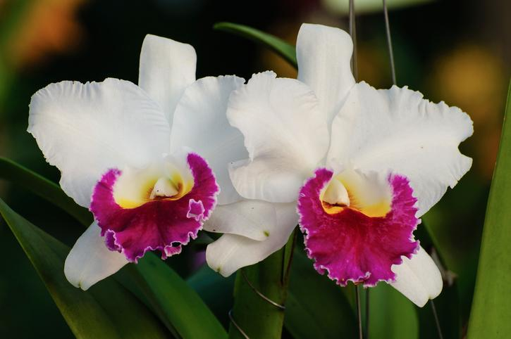 White orchid flowers - Cattleya