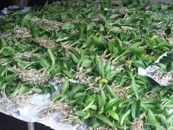 orchid seedlings (1)